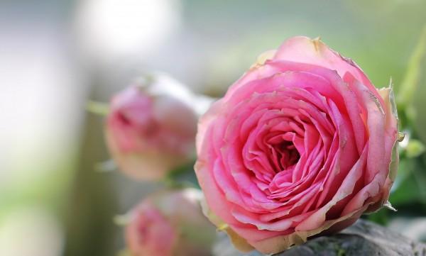 rose-1687683_1920