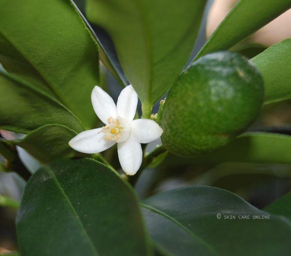 Neroliöl (Orangenblüte) 10% Marokko